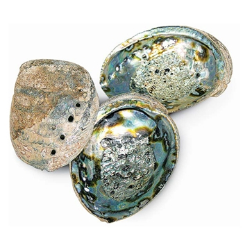 Abalone Natural Shell