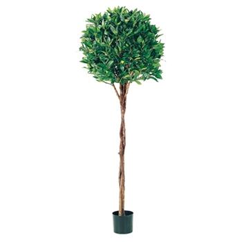 Bay Topiary Green Tree 5ft