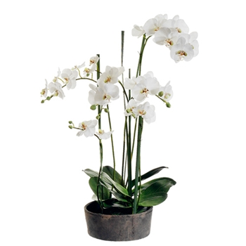 Phalaenopsis Orchid (Potted) 37in