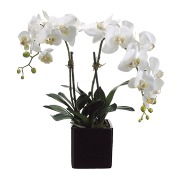 Phalaenopsis Orchid (Potted) 22in