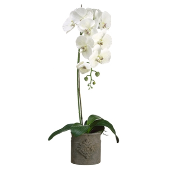 Phalaenopsis Orchid (Potted) 42in