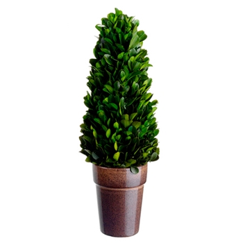 Boxwood Topiary (Preserved) 12in