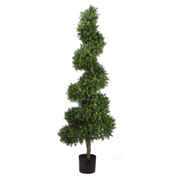 Boxwood Spiral Topiary 5.5ft