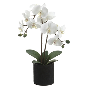 Phalaenopsis Orchid (Potted) 23in