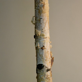 Birch Pole Natural 5 & 7-8ft
