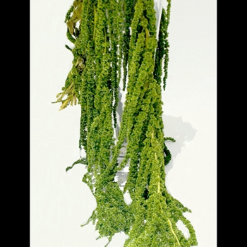 Amaranthus Preserved 18-25in Green