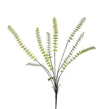 Button Fern 19in