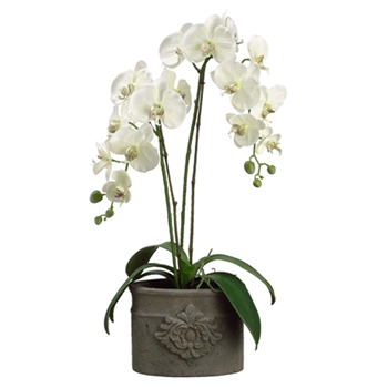 Phalaenopsis Orchid (Potted) 29in