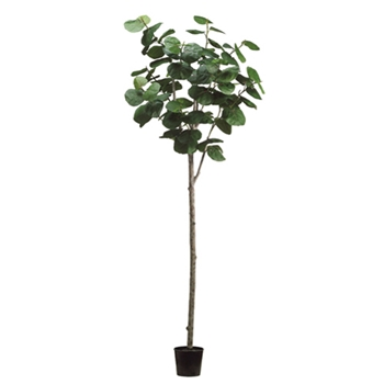Seagrape Tree 9ft