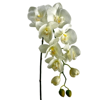 Phalaenopsis Orchid 31in