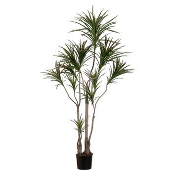 Dracena Tree 6ft (Outdoor)