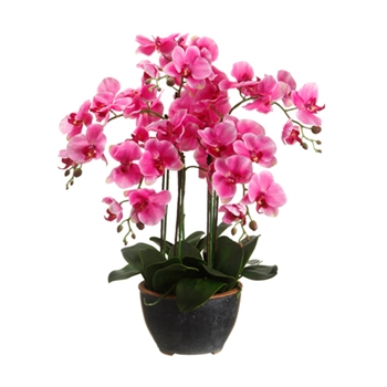 Phalaenopsis Orchid (Potted) 24in