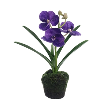 Vanda Orchid (Potted) 12in