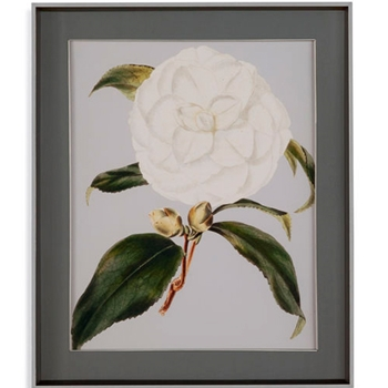 31W/37H Camellia Japonica I