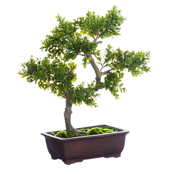 Bonzai Boxwood Topiary 27in