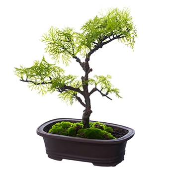 Bonsai Cedar Topiary 13in