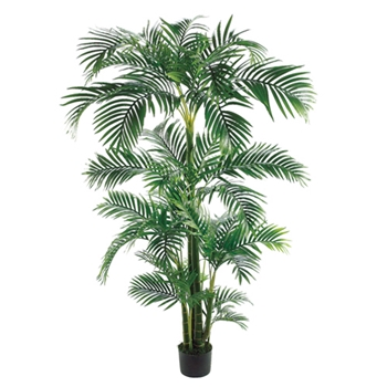 Kentia Tree 7ft