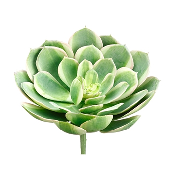 Echeveria Variagated 9in