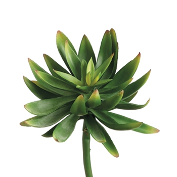 Dudleya Green 6in