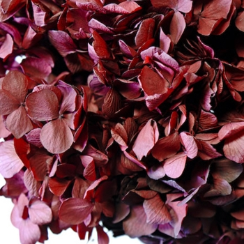 Hydrangea Preserved 8in Burgundy