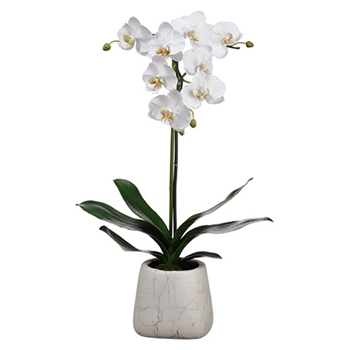 Phalaenopsis Orchid 30in