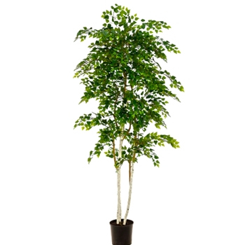 Birch Tree Green White 7FT in Plastic Pot