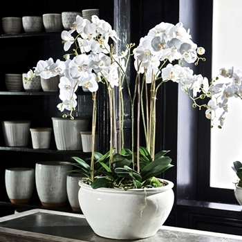Phalaenopsis Potted Orchid White 18W/36H Barclay Butera