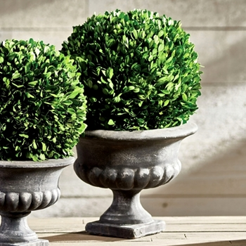 Boxwood Preserved Topiary Ball Urn 12W/19H