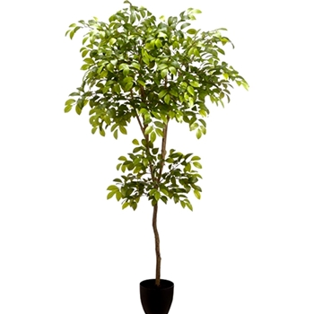 Sakaki Tree Variegated 72in Plastic Pot