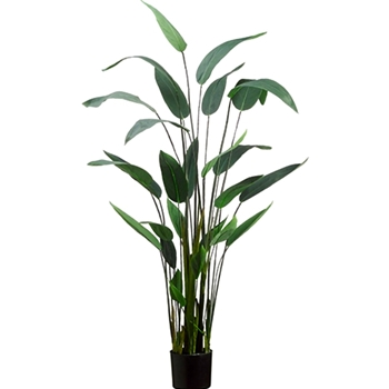 Canna Leaf Plant 64in in Black Pot