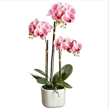 Phaelanopsis Orchid Pink White Planter 25in