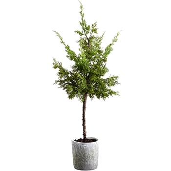 Juniper Tree Tabletop White Pot 36in Green