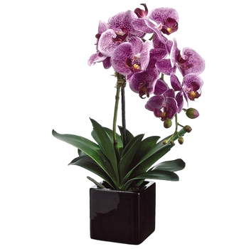 Phalaenopsis Orchid 20in