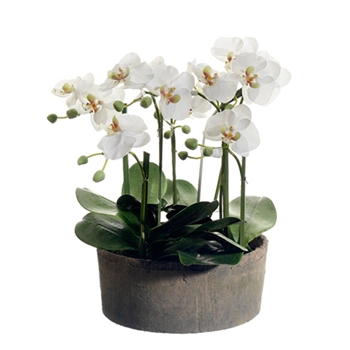 Phalaenopsis Orchid (Potted) 19in