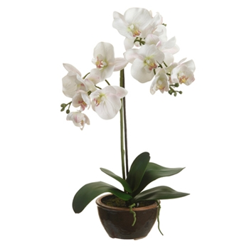 Phalaenopsis Orchid (Potted) 20in