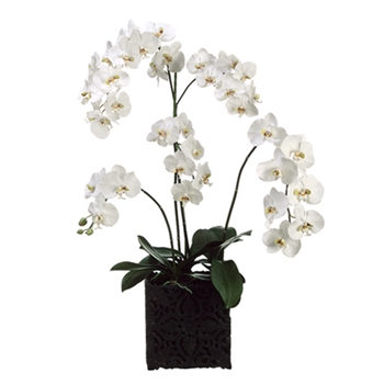Phalaenopsis Orchid (Potted) 40in