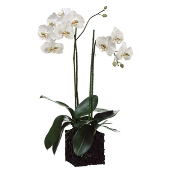 Phalaenopsis Orchid (Potted) 31in