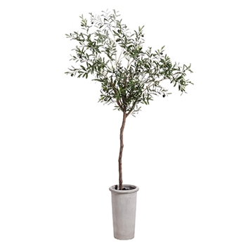 Olive Tree (Potted) 7.5ft