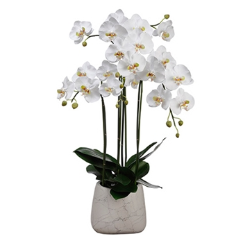 Phalaenopsis Orchid 35in