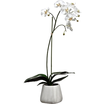 01. Phalaenopsis Potted Orchid  White 30IN