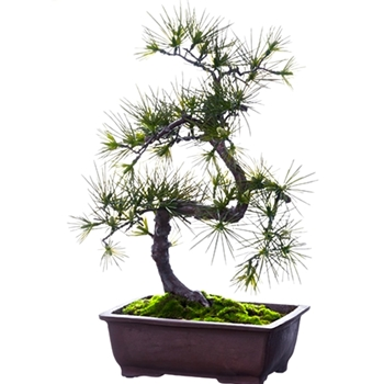 Bonsai - Pine Long Needle 27In