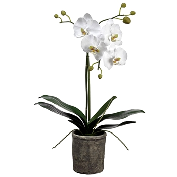 01. Phalaenopsis Orchid Potted White in Grey Pot 25IN