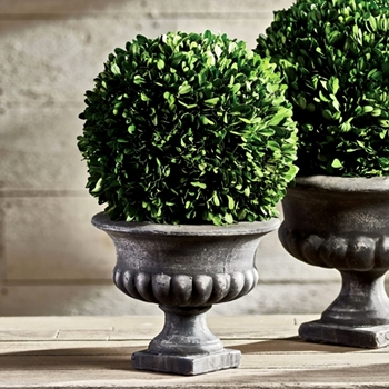 Boxwood Preserved Topiary Ball Urn 10W/17H