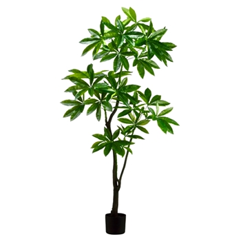 Pachira Eva Tree 72in Plastic Pot