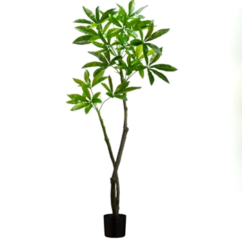 Pachira Eva Tree 48in Plastic Pot