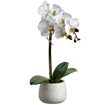 01. Phalaenopsis Potted Orchid  White 16in