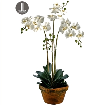 01. Phalaenopsis Potted Orchid White Terracotta Pot 10W/36H