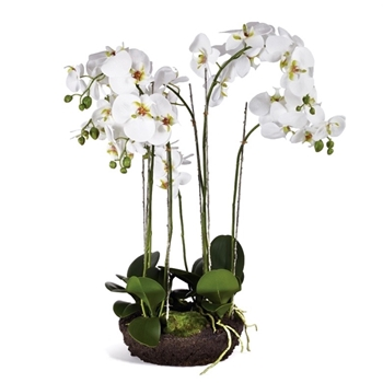 Phalaenopsis Orchid Drop-In White 10W/31H