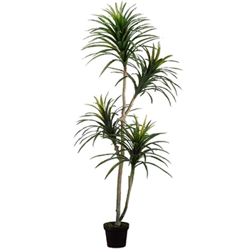 Yucca Tree - 6ft 4heads Green