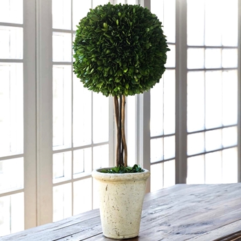 Boxwood Topiary Preserved Ball/Stem 10W/24H